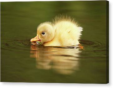 Cute Overload Series - The Very Hungry Duckling Canvas Print