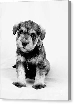 Cute Puppy 1 Canvas Print