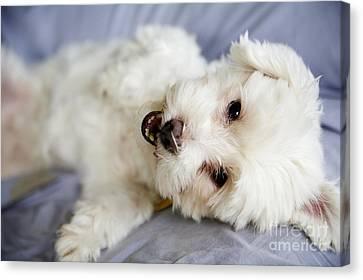 Cute Puppy Canvas Print