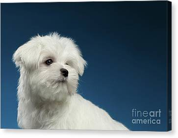 Cute Pure White Maltese Puppy Curiously Looking Isolated On Blue Background Canvas Print by Sergey Taran