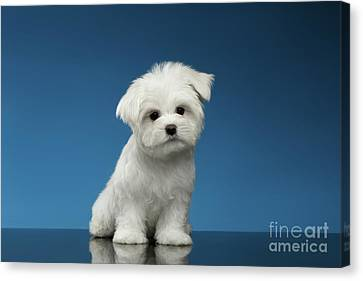 Cute Pure White Maltese Puppy Standing And Curiously Looking In Camera Isolated On Blue Background Canvas Print
