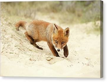 Cute Red Fox Kit Practising Its Hunting Skills Canvas Print by Roeselien Raimond
