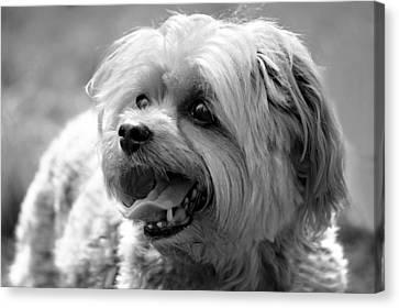 Cute Yorkie - Yorkshire Terrier Dog Canvas Print