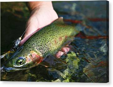 Cutthroat Trout On The Middle Fork Canvas Print by Drew Rush