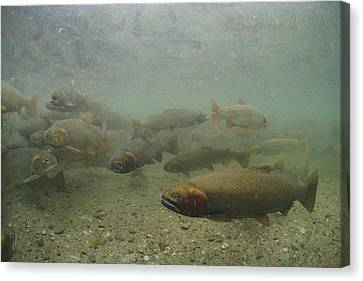 Cutthroat Trout Swim Canvas Print by Michael S. Quinton