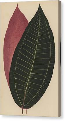 Cyanophyllum Magnificum Canvas Print by English School