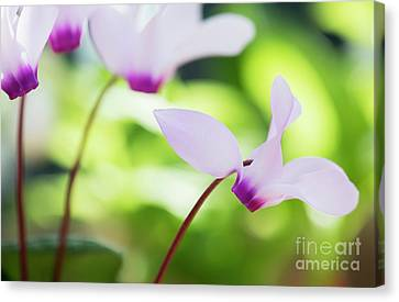 Canvas Print featuring the photograph Cyclamen Persicum by Tim Gainey