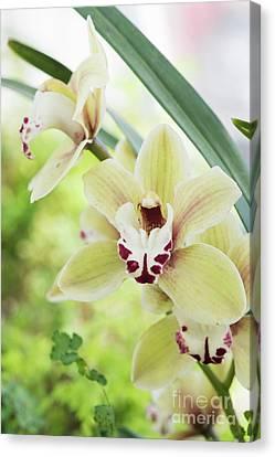 Cymbidium Orchid Canvas Print by Tim Gainey
