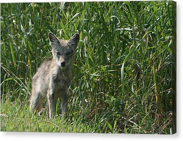 Cyote Pup Canvas Print by Dave Clark