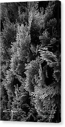 Cypress Branches No.1 Canvas Print