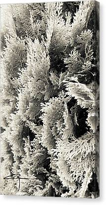 Cypress Branches No.2 Canvas Print