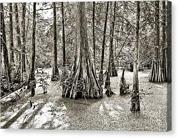 Cypress Evening Canvas Print by Scott Pellegrin
