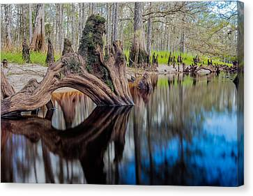 Cypress Knee In Fisheating Creek Canvas Print by Andres Leon