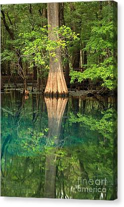 Cypress Reflections In Manatee Spring Waters Canvas Print