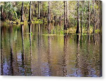 Cypress Trees Along The Hillsborough River Canvas Print by Carol Groenen