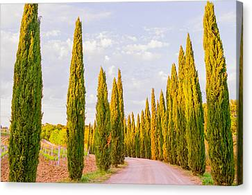 Cypress Trees In Tuscany Canvas Print by Ariane Moshayedi
