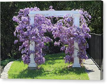 Wisteria In Bloom Canvas Print - D6b6373 Wisteria In Bloom by Ed Cooper Photography