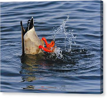 Dabbling - Mallard Canvas Print by Tony Beck