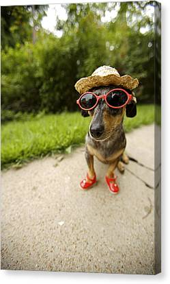 Dachshund In Sunglasses, Straw Hat Canvas Print