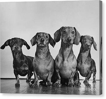 Dachsunds Canvas Print