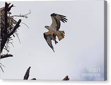 Dad Brought Supper Canvas Print