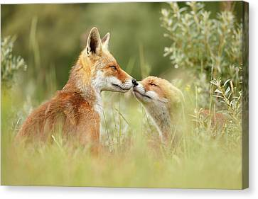Kit Fox Canvas Print - Daddy's Girl - Red Fox Father And Its Young Fox Kit by Roeselien Raimond
