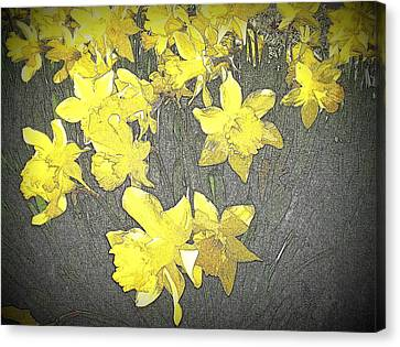 Daffodil 2-pencil Etch Canvas Print by Nick Kloepping
