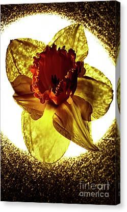 Daffodil. Canvas Print by Alexander Vinogradov