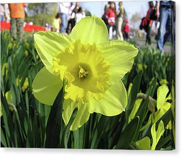 Daffodil Close Up Canvas Print by Richard Mitchell