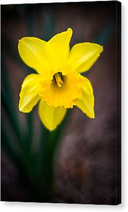 Daffodil Details Canvas Print by Shelby Young
