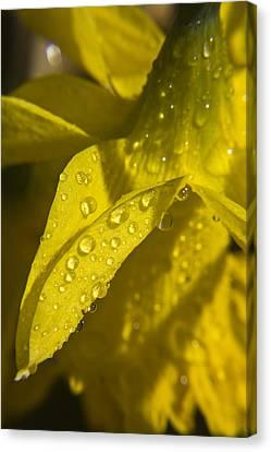 Daffodil Dew Canvas Print by Teresa Mucha