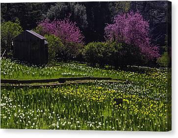 Daffodil Hill Canvas Print by Garry Gay
