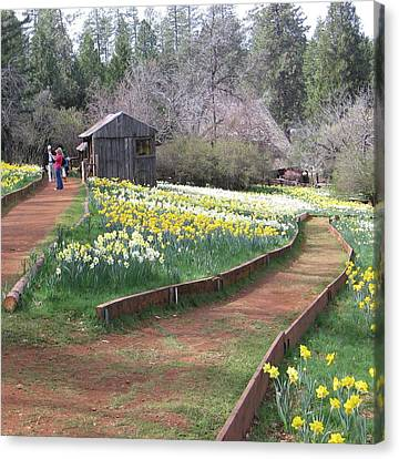 Daffodil Hill Pathway Canvas Print by Karen J Shine