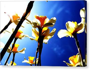 Daffodil Canvas Print by Nathan Grisham