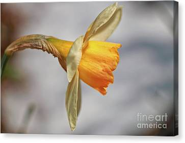 Daffodil Profile  Canvas Print by Elizabeth Dow