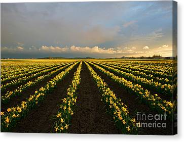 Canvas Print featuring the photograph Daffodil Storm by Mike Dawson