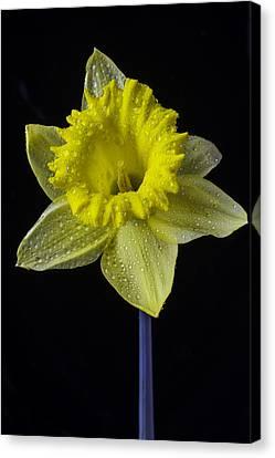 Daffodil With Dew Canvas Print by Garry Gay