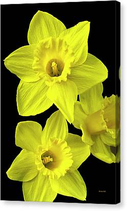 Canvas Print featuring the photograph Daffodils by Christina Rollo