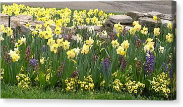 Daffodils  Canvas Print by Gayle Miller