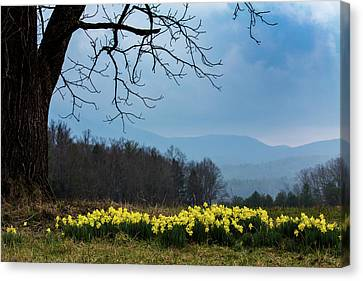 Smoky Mountains Canvas Print - Daffodils In Cades Cove In February by Carol Mellema