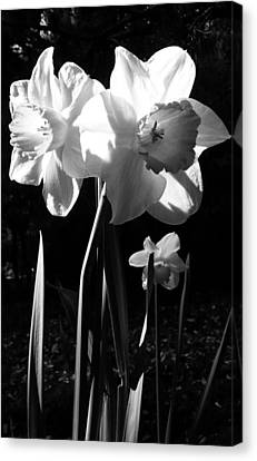 Daffodils In Sunlight Canvas Print