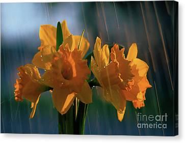 Daffodils In The Rain Canvas Print by Terril Heilman