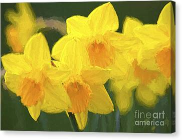 Daffodils Nodding Photoart Canvas Print by Sharon Talson