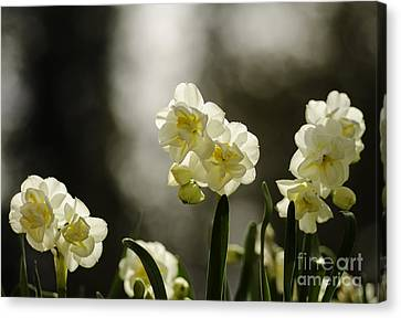 Daffodils With Bokeh Canvas Print