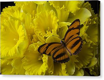 Daffodils With Butterfly Canvas Print by Garry Gay