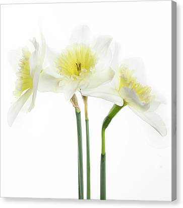 Canvas Print featuring the photograph Dafs by Rebecca Cozart
