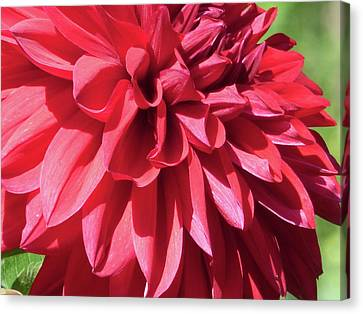 Dahlia 2016 3 0f 5 Canvas Print by Tina M Wenger