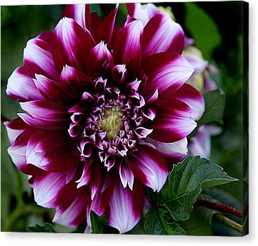 Dahlia Canvas Print by Denise Romano