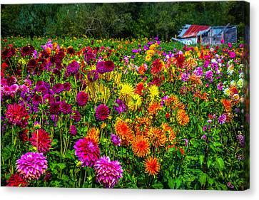 Dahlia Garden Oregon Canvas Print