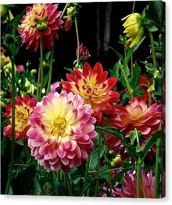 Dahlia Garden Time  Canvas Print
